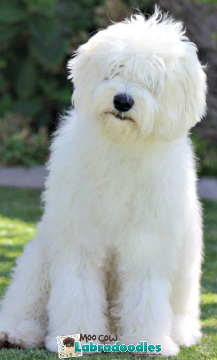 Australian Labradoodle - Lorek the Great! New at Moo Cow Labradoodles.