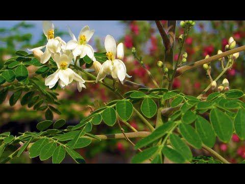 "Moringa Oleifera ""Árbol Milagroso"" Descubre sus Beneficios"