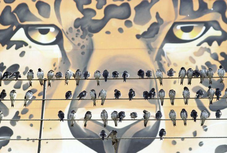 Andorinhas na mira da onça by Jair Ferreira on 500px