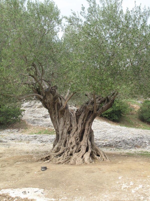 1,000 year old olive tree at Pont du Gard in the south of France