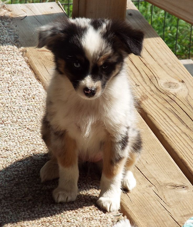 We Are A Michigan Breeder Of Quality Toy Australian Shepherds We Are A Small Hobby Breeder Who Raises Pups Dog Breeding Business Dogs And Kids Aussie Puppies