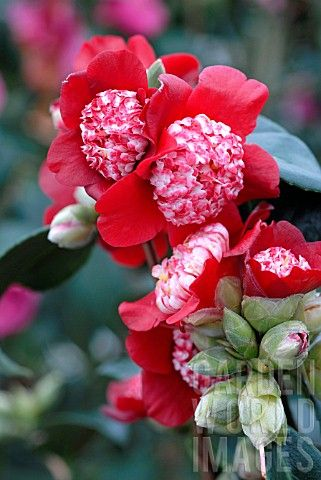 Camellia japonica 'Lipstick' (U.S., 1974) amazing colour and centres!  BEAUTIFUL **+