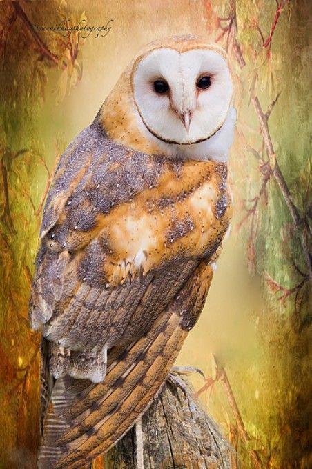 ~~The Wise Owl ~ Barn Owl by Yannik Hay~~
