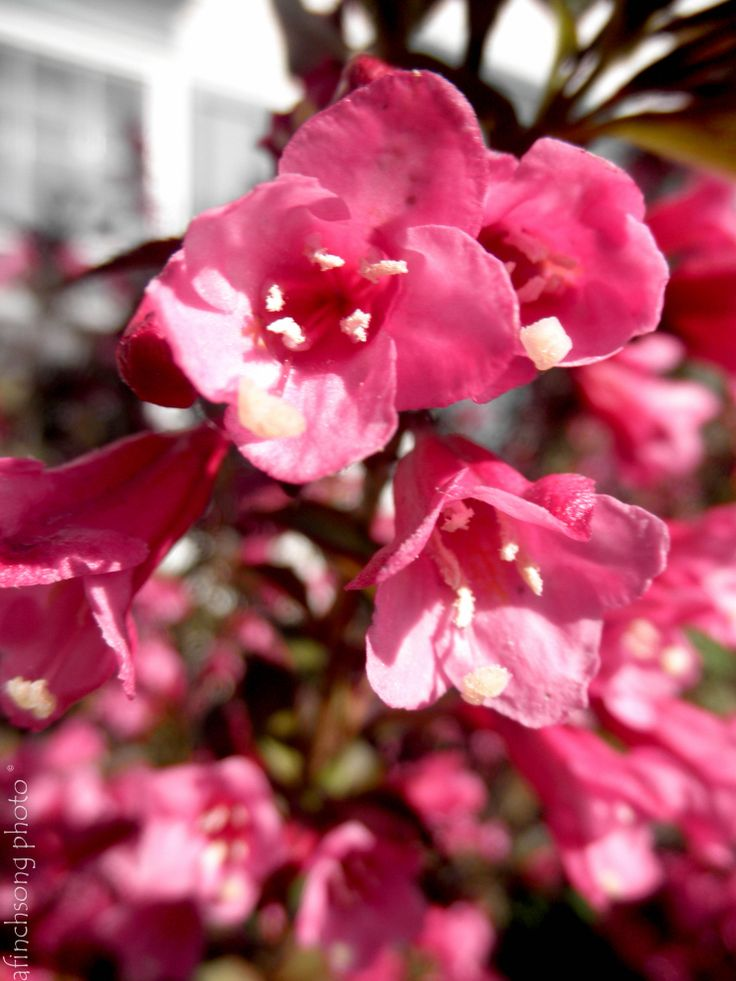 176 Best Images About Flowering Shrubs On Pinterest