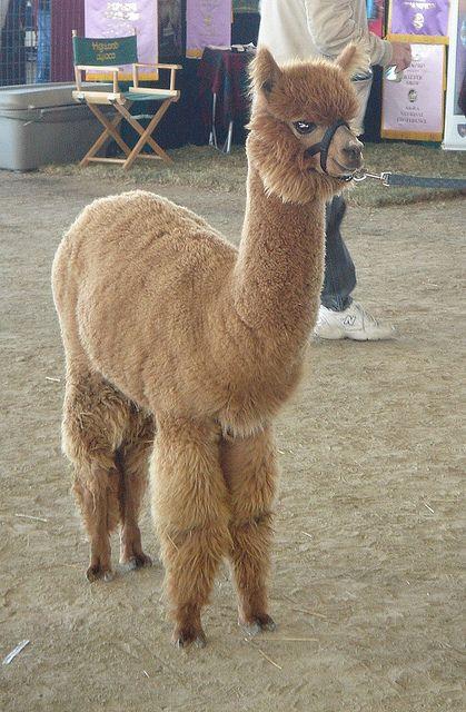 Best Alpacas Images On Pinterest Llama Alpaca Cute Alpaca - 22 hilarious alpaca hairstyles