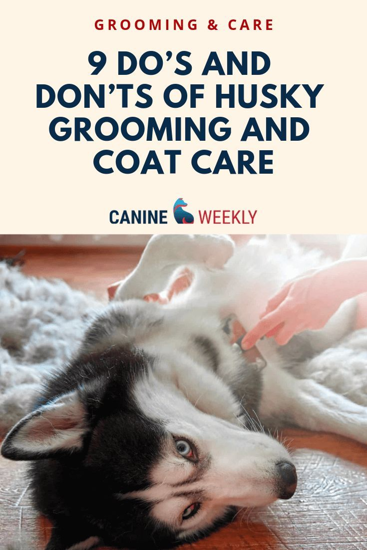 Husky Grooming Guide Everything You Need 9 Husky Shedding Tips