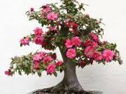 Imagini pentru copaci ornamentali frumos colorat