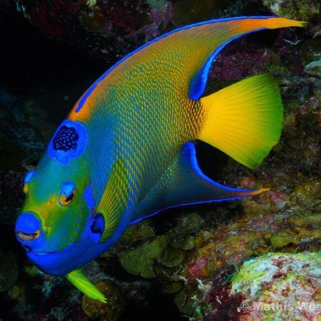 Queen Angelfish C Marty Snyderman Www Goscubadivemaui Com Maui Scuba Photos Of The Week 2010 04 19 Marine Fish Sea Fish Ocean Creatures
