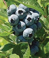 How to Grow Blueberries - Gardening Tips and Advice.  Need FULL Sun!  Transplant in January!