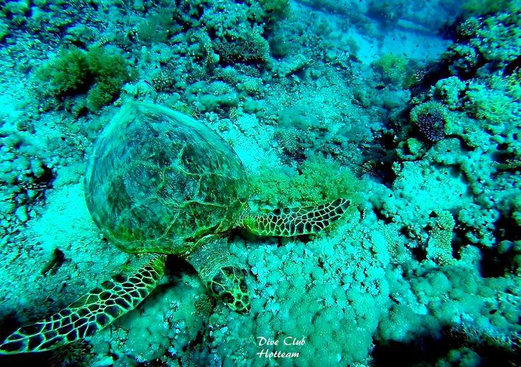Green sea turtle or soup? // Зеленая морская черепаха или суп?   You know that these turtles are caught for the soup! Are you ready to eat this magnificent animal? Вы знаете что этих черепах вылавливают для супа! Вы готовы съесть это великолепное животное? #dream  #follow #like #comment #fisheye #shots #20likes #picoftheday #instadaily #fish #diving #scuba #underwater #underwaterphoto #черепаха #море #подводой #redsea #water #nature #life