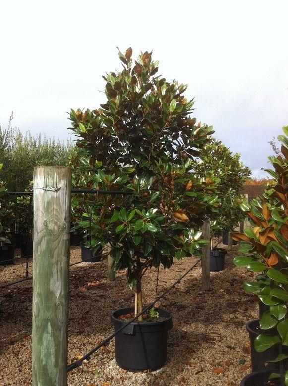 Magnolia grandiflora 'Little Gem'   Details of the Plant   TGA Australia