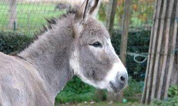Pauline. Zij is de eerste ezel waar de liefde voor ezels concreet allemaal mee begon, nog lang voor het centrum werd opgericht.  Zij is hier met haar vriendinnetje de pony Fiona in de kudde, bij de pony's Yorim en Aron.  Pauline, opgegroeid bij deze pony's, voelde zich meer pony dan ezel, en kon niet zonder Fiona.  Maar ondertussen is ze wel meer geïnteresseerd in haar soortgenoten, en zit ze heel... Courtesy: Anegria vzw, Stekene (Koewacht), (Belgium).