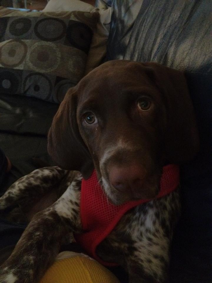 German Shorthaired Pointer   Looking at #GSP rescues for my new baby boy! ❤️ #AdoptDontShop