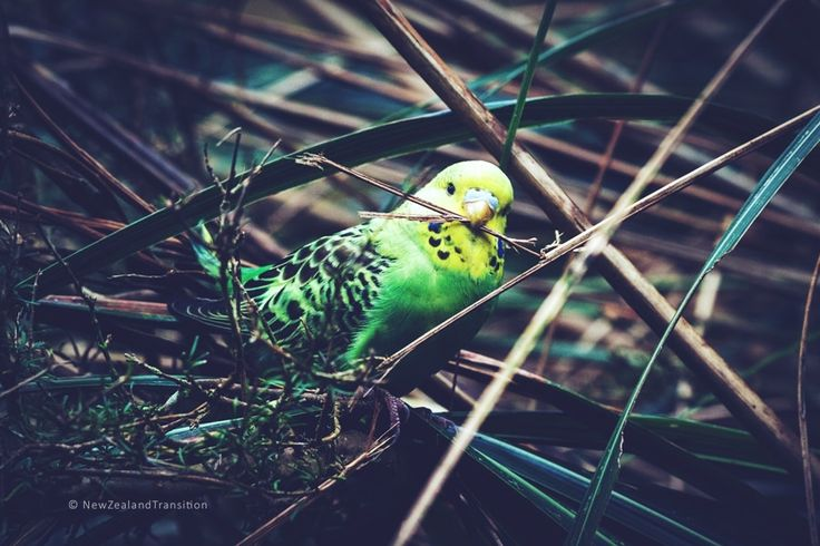 Budgerigars in the grass