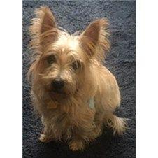 Col Potter Cairn Rescue Network Cairnrescue Cairn Terrier