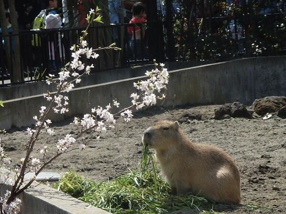 "Capybara+enjoying+a+meal+at+Ueno+Zoo+treats+us+to+the+herbivore's+version+of+""Hana+YoriDango"""