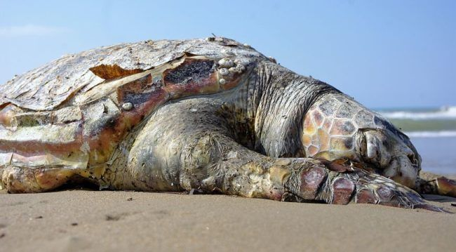 """11/8/17 Officials have no idea why more than 400 hundred dead sea turtles have been found floating in the waters off El Salvador's Pacific coast. Late last week, the environmental ministry posted on Twitter that its officers, """"found between 300 and 400 dead sea turtles floating around seven nautical miles offshore from Jiquilisco Bay."""" Most of …"""