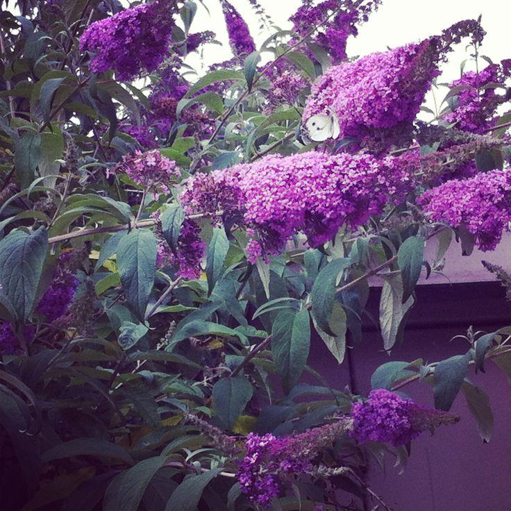 A beautiful Butterfly on a buddlea tree thus summer