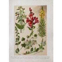 Stampa antica di fiori e tralci:primi del '900 - Slovenia