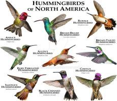 Hummingbirds of North America by rogerdhall