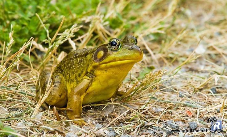 Ouaouaron (Lithobates catesbeianus), grenouille mugissante ou grenouille-taureau.  C'est une espèce très invasive et les têtards mettent deux ans à se transformer en jeunes grenouilles. Elle est reconnaissable à sa corpulence et à sa couleur jaune sous sa bouche.