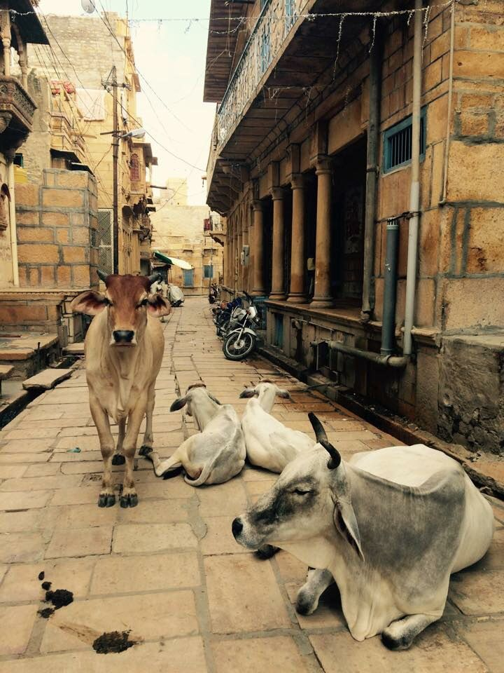 Cows are to be seen in the living fort in Jaisalmer