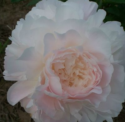 AUTENS PRIDE  Lt pink w/ orchid tones, this makes a great cut flower. Late mid-season bloomer.  Peony Farm Gardens.