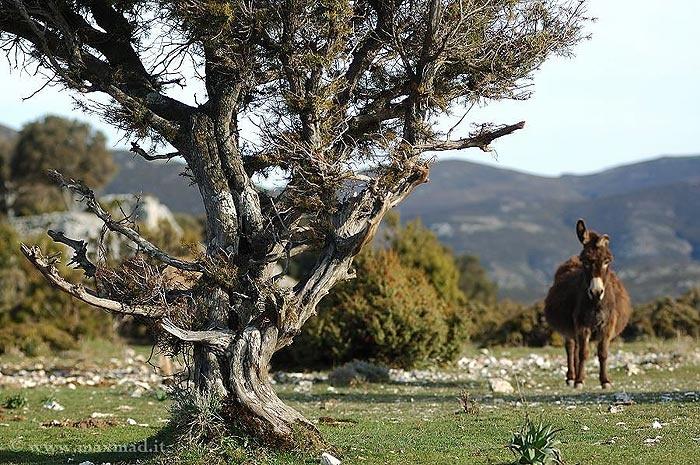 Asinello-Sardo #Talana #Ogliastra