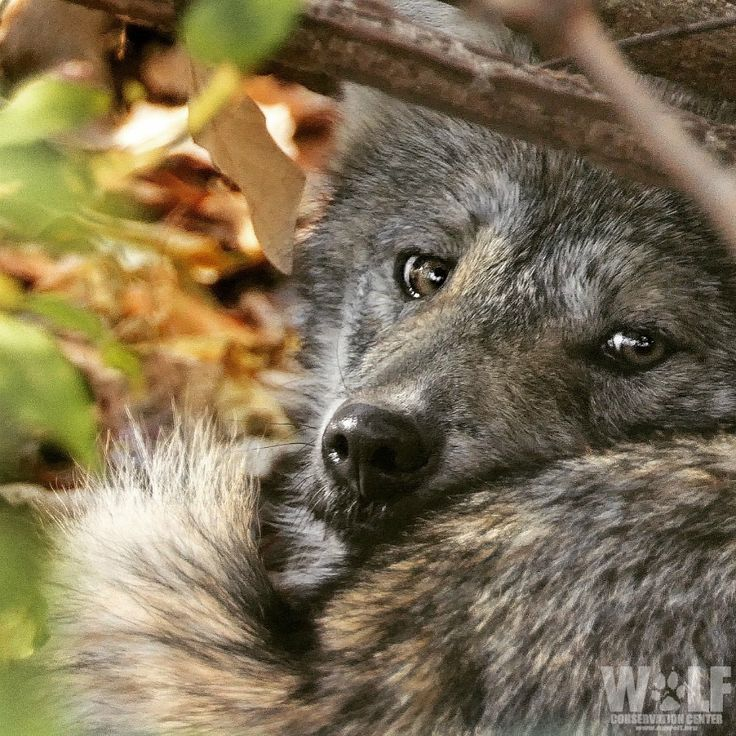 A Female Wolf Feeling a Bit Insecure.