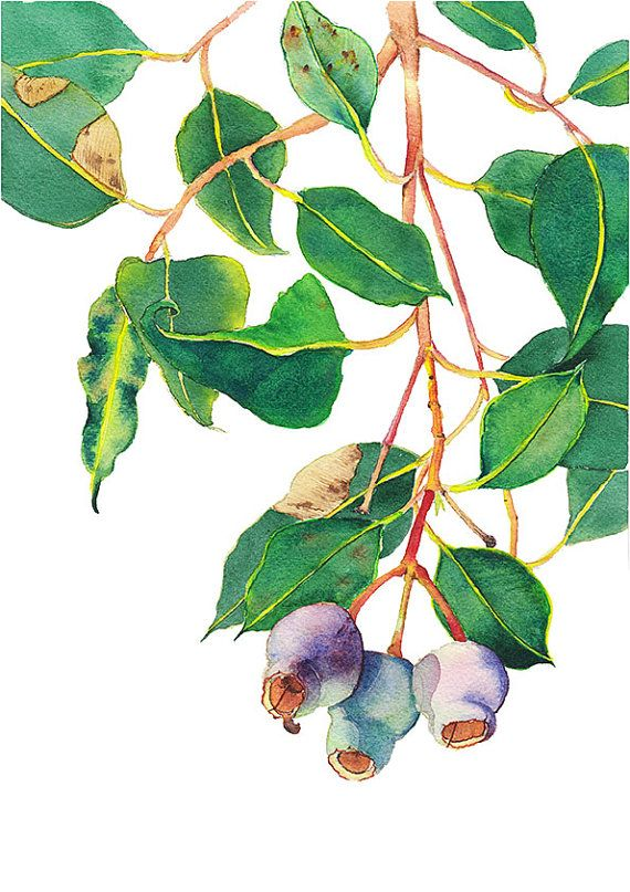 Gumnuts botanical print A5, 10×8, A4, 14×11, A3; Australian native flora watercolor; nature home decor; Eucalyptus tree branch wall art