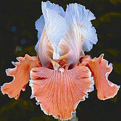 Iris English Charm!