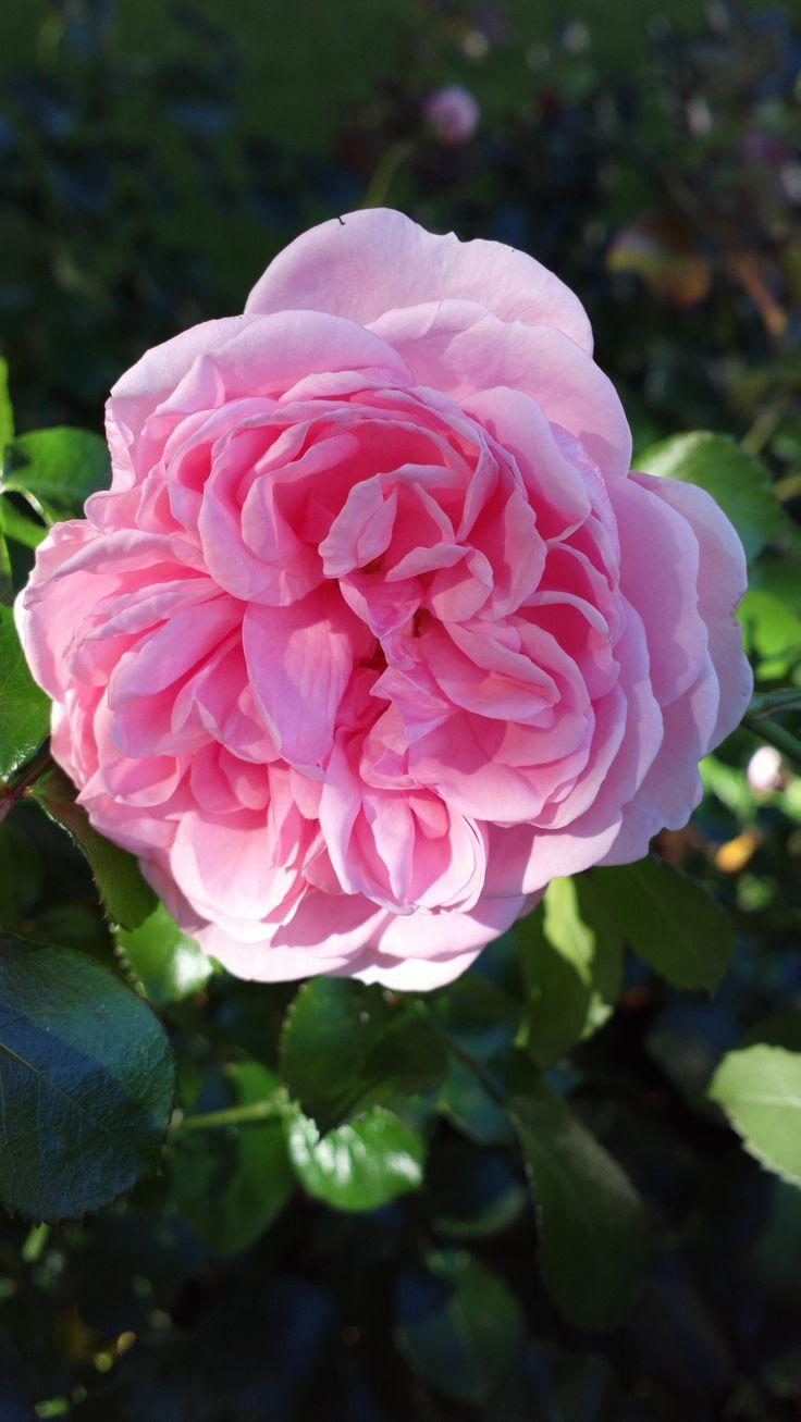 39 home garden floribunda rose w kordes sons germany 2001 flickr kamalakala - Rose cultivars garden ...