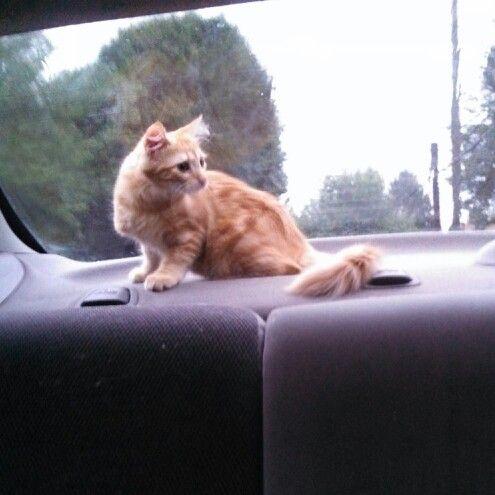 Cat car rides!