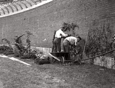 Planting the ivy at Wrigley, 1937, Chicago.