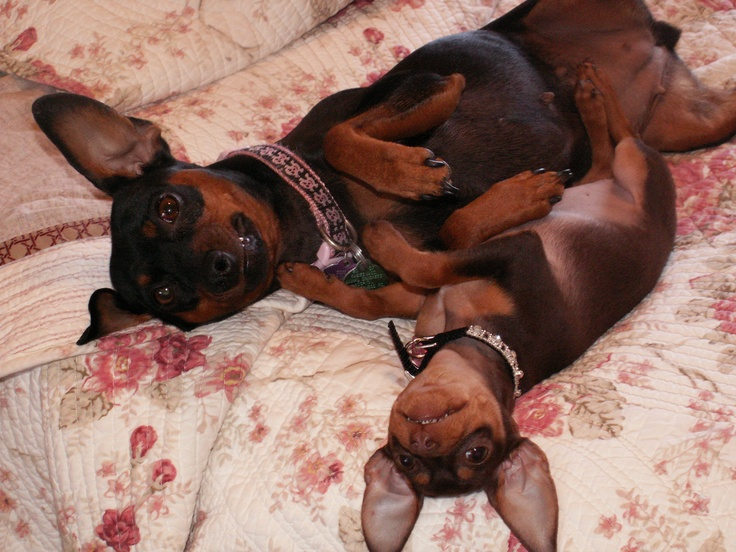 this is so sweet!!!  min pins think they are human!