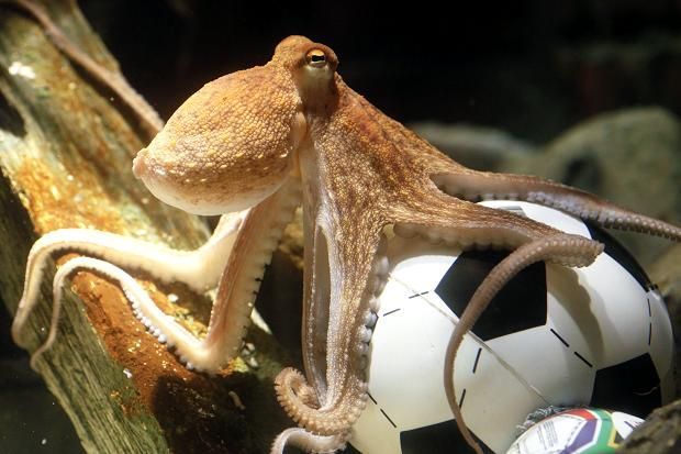 Paul the octopus, a now-deceased cephalopod in the U.K., made more accurate predictions for the 2010 World Cup than Goldman Sachs has this year. Description from ibtimes.com. I searched for this on bing.com/images