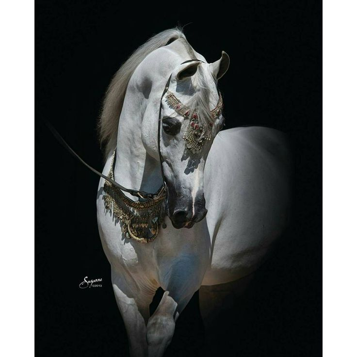 Arabian stallion - El Noor CR by Simeon Sachi x Fairy Phire Owned by Zilal Al…