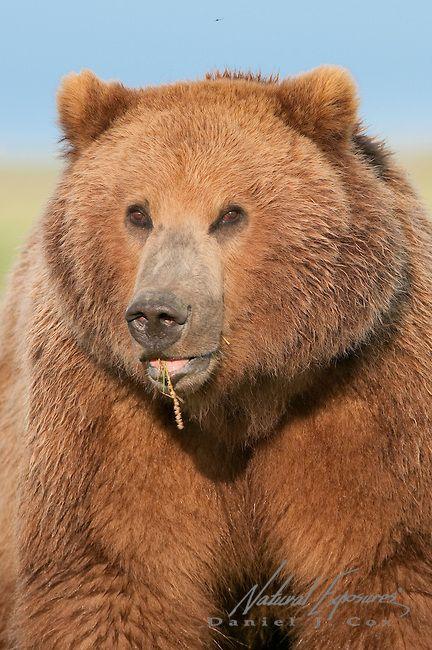 Alaskan brown bear cub in Alaska.