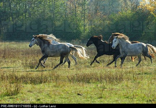 history of the horse equus caballus essay Equus caballus racing is a competition of velocity between two or more equus  a speech about horse racing essay  advanced placement united states history.