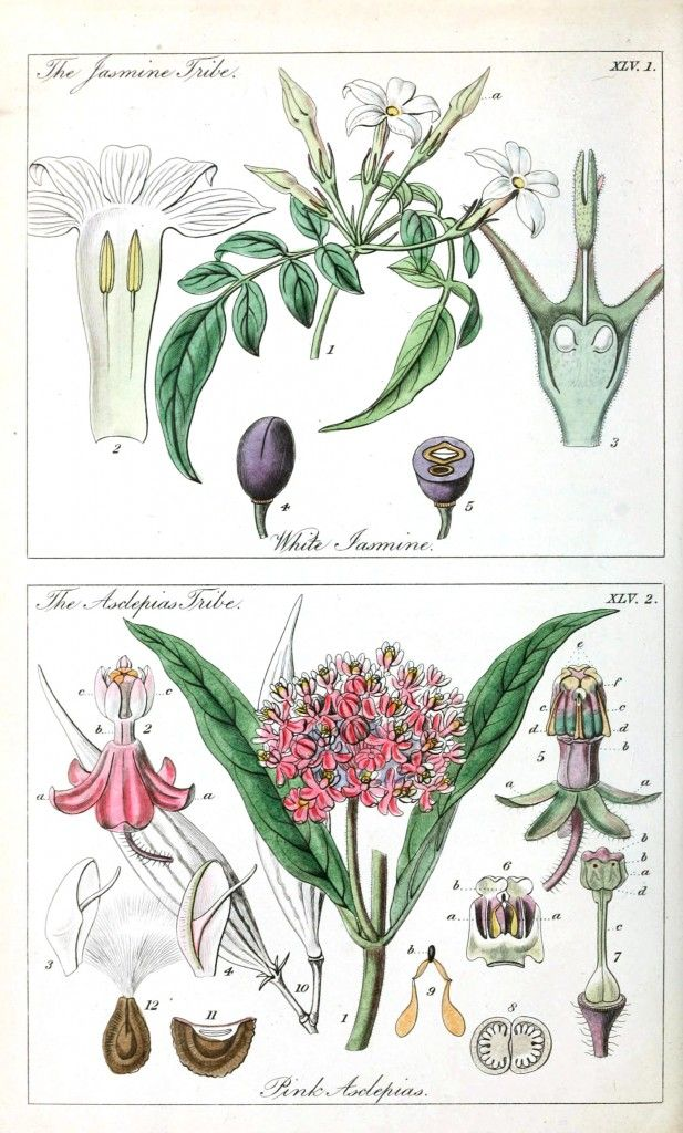 Asclepias Botanical - Educational plate - Ladies botany 20