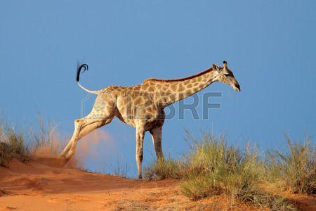 Giraffe - Giraffa camelopardalis - running on a sand dune, Kalahari desert, South Africa