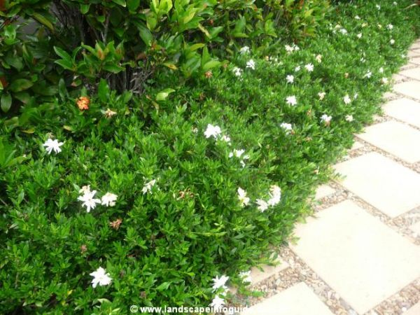 Dwarf Gardenia lining the entry to the porch steps in front.  The side steps lead to a courtyard off the sunroom