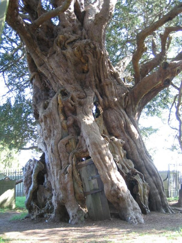 An amazing ancient yew tree with a door. The 4000 year old Crowhurst Yew in Surrey, England. The room in the ancient tree, hollowed out around 1820, can house 14-15 people. It is said that when the locals were making the room they found a cannonball embedded in the trunk, thought to have been fired in The English Civil War (1642–1651)