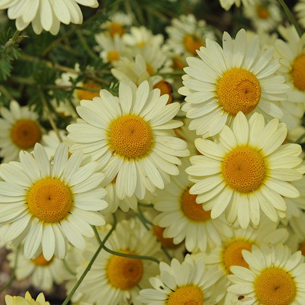 Cheerful, lemon-yellow daisy-like flowers