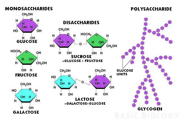 What is the difference between monosaccharides and disaccharides