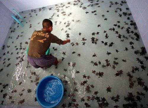 my dream!!! a room full of baby sea turtles