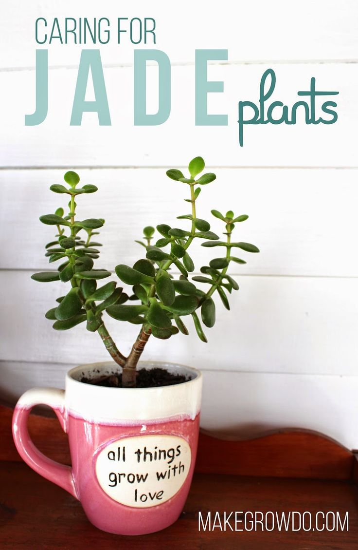 Caring for Jade Plants: your one-stop resource for tips on growing, pruning & propagating healthy, happy Jades. Makegrowdo.com