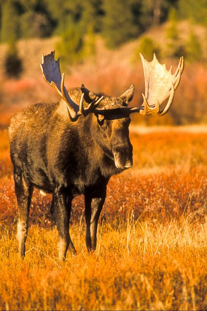 bull moose in the fall. Grand Teton National Park, Wyoming.  Photo: Jerry Mercier via Flickr
