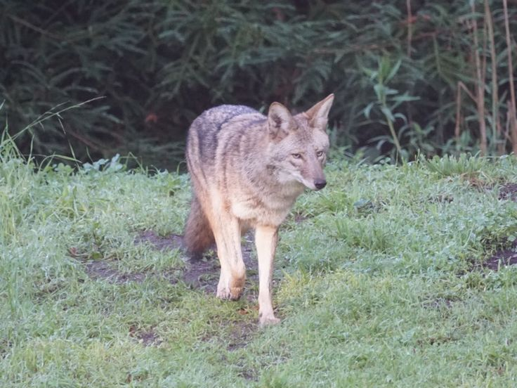 The coyote tested positive for four different types of rat poison that are not legal for non-professional use in California.