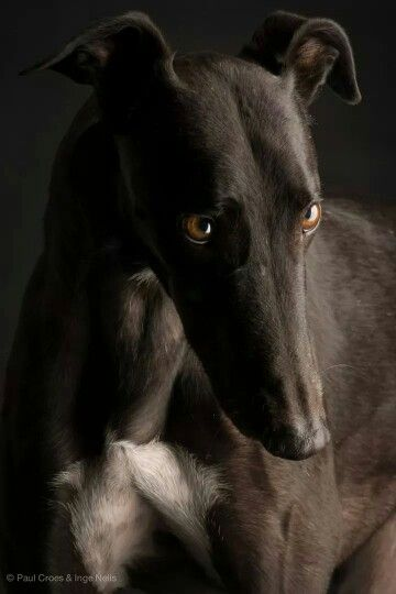 greyhound beauty | adopt an ex- racer!  they're  mellow, yes, even lazy... & great pets